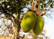 Баобаб. Порошок мякоти плодов. Товары из Африки