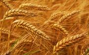 Оптовая продажа пшеницы
