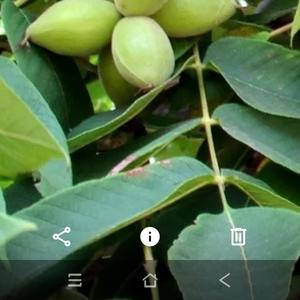 Продам саженцы ореха маньчжурского