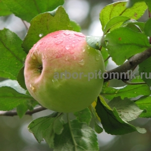 Саженцы яблони по низкой цене в Москве и Подмосковье