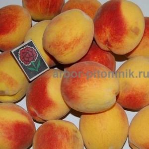 Саженцы персиков из питомника в Подмосковье