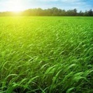 Семена тимофеевки,  ежи,  овсяницы,  райграса,  фестулолиума