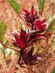 Гибискус,  каркаде. Растительные чаи из Западной Африки. Оптовые продаж